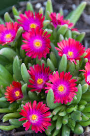 Heat Loving Plants by Jewel Of The Desert Garnet Ice Plant Is A Low Growing Tough