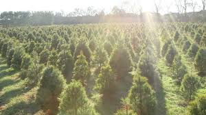 country cove christmas tree farm youtube