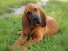 bluetick coonhound and bloodhound mix bloodhound wikipedia