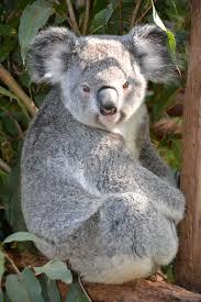 Angry Koala Meme - angry wet koala
