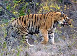 preservation the fund for the tiger tigers 101