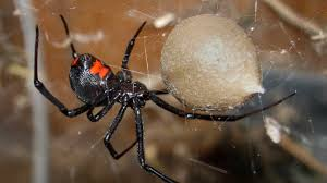 Black Widow Spiders Had A - black widow is virginia s only native venomous spider lurking