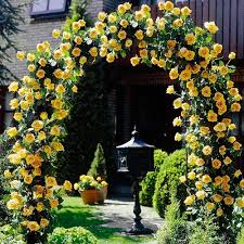 which climbing roses bloom all summer rose bush rose and arbors