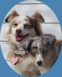 australian shepherd x puppies for sale miniature toy australian shepherds for sale mini australian