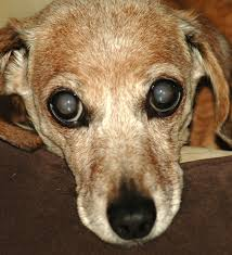 Can Cataracts Cause Blindness Guest Post Why Are My Dog U0027s Eyes Turning Gray
