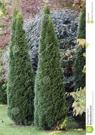 cypress ornamental trees stock photo image of junipers 23872842