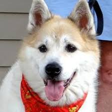dog photo albums genesis is an adoptable siberian husky dog in statesville nc