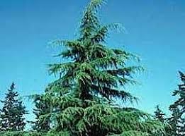 diddley dadburn tree plantation wholesale ornamental trees oak