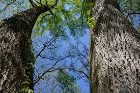 u m to offer grandmother tree walk tours at nichols arboretum