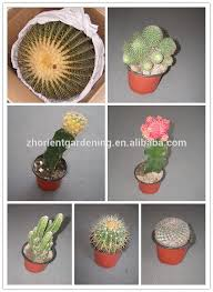 mini grafted cactus succulent ornamental indoor plants bonsai