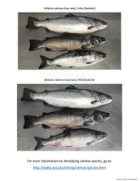 washington state alaska respond to atlantic salmon issue the