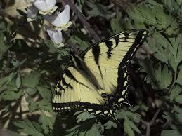eastern tiger swallowtail wisconsinbutterflies org