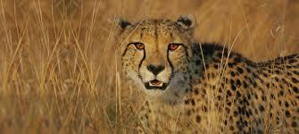 meet cheetah 5 mtc cropped jpg itok u003d3c7vnbz6