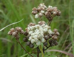 missouri native plants american feverfew wild quinine mdc discover nature