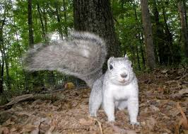 Delaware wildlife images Delmarva squirrel makes comeback delaware state news delaware jpg