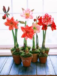 pots of amaryllis amaryllis and other bulbs bloom inside during