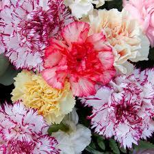 carnations in bulk bulk flowers bloomsbythebox
