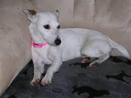 bichon frise x jack russell italian greyhound jack russell mixed