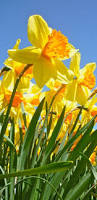 119 best daffodills my favorite images on pinterest daffodils