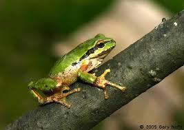 northern pacific treefrog pseudacris regilla
