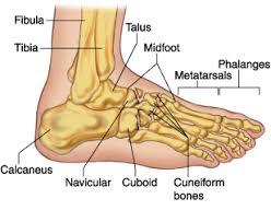 Os Calcaneus Fracture Midfoot Cuboid Cuneiform Navicular Medical Disability
