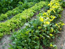 When To Plant Spring Vegetable Garden by Free Images Flower Food Spring Produce Vegetable Garden