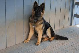 belgian sheepdog size and weight what does did your 6 month old pup weigh german shepherd dog forums