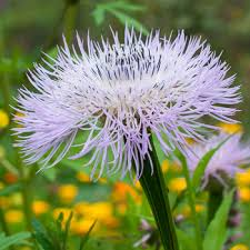 rare heirloom flowers select seeds