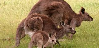 it u0027s raining kangaroos the ups and downs of kangaroo management