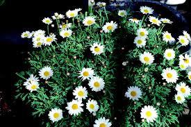 free photo daisy white bush flower nature free image on