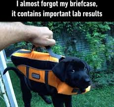 Black Lab Meme - i can has cheezburger labrador funny animals online cheezburger