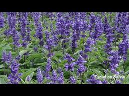 Salvia Flower Transplanting Indoors The Evolution Salvia Flower Youtube