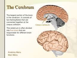 Anatomy Of The Brain And Functions The Human Brain Anatomy