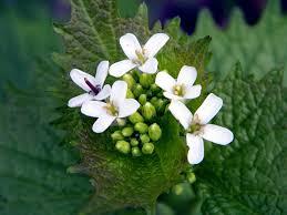 les fleurs comestibles en cuisine cuisine des fleurs comestibles alliaire