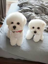 bichon frise names male best 25 bichons ideas on pinterest bichon frise small dogs and