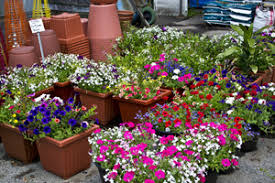potted flowers potted flowering plants gherardi greenhouses