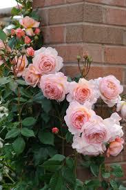 the 25 best climbing roses ideas on pinterest climbing flowers
