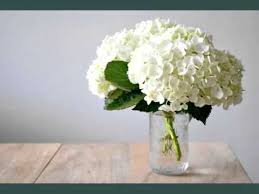 hydrangea white white hydrangea beautiful white folwers images phula