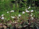 Image result for Chimaphila maculata