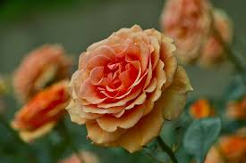 Plants That Repel Aphids by The Best Companion Plants For Roses