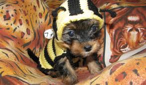Halloween Costumes Yorkies Dogs Yorkies Yorkshire Terrier Dog Videos Images