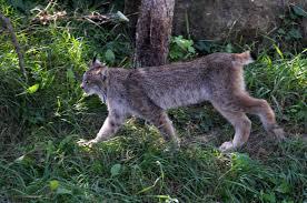 canadian lynx zoo sauvage de st félicien