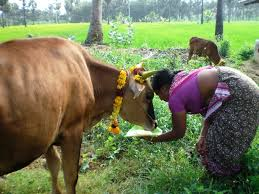 indian happy pongal by decorating their animals on harvest