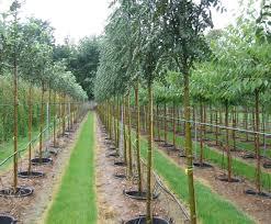 container grown trees coles nurseries esi external works