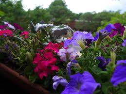 Flowers In Longmont Co - high up at the roost flowers in the parapet picture of the