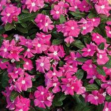 vinca flowers vinca garden plants flowers garden center the home depot