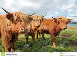 close up of scottish highland cow in field stock images image