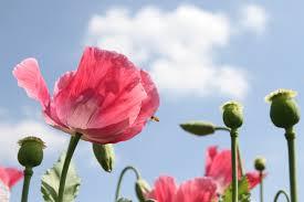 flower blooming free images blossom flower petal bloom blooming flora