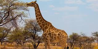 facts about giraffes worldatlas com