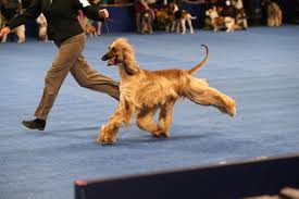 america s top dogs compete for gold at the national show 2015